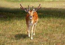 Fallow Deer Stag walking towards camera Stock Images