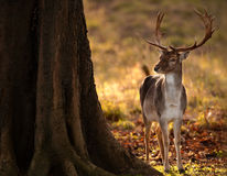 Fallow Deer Buck in Wood. A handsome fallow deer stag is photographed standing on fallen leaves next to a tree as golden light pours in behind from the sunrise royalty free stock image