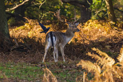 Fallow Deer stag Stock Image