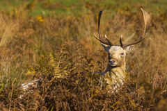 Fallow Deer stag Royalty Free Stock Photography