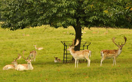 Fallow deer stags (Dama dama) Royalty Free Stock Images