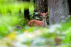 Fallow deer in the woods. Fallow deer stand in the forest and looking at the lens stock photos