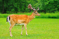 Fallow deer. Standing on the glade royalty free stock photos
