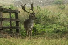 A fallow deer standing near a fence Royalty Free Stock Photography