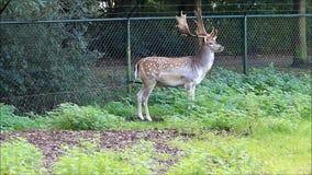 Fallow deer standing in a wildlife park stock video footage