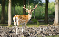 Fallow deer. Stands in forest stock photo