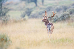 Fallow deer Royalty Free Stock Photo