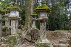Fallow deer and stone lanterns in the Kasuga Shrine of Nara, Japan stock photography