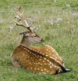 Fallow deer with summer coat Royalty Free Stock Photos