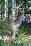 Fallow deer in summer Royalty Free Stock Images