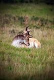Fallow Deer. Sunday walk in South Weald Country Park, watching the group of fallow deer resting on the grass royalty free stock images