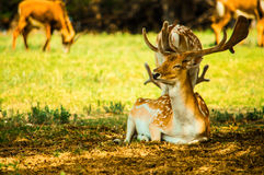 An  fallow deer Royalty Free Stock Images