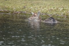 Fallow deer in nature. Fallow deer swimming and standing in water on a cold winter day Stock Photography