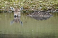 Fallow deer in nature. Fallow deer swimming and standing in water on a cold winter day Royalty Free Stock Images