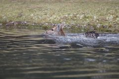 Fallow deer in water. Fallow deer swimming and standing in water on a cold winter day Stock Images
