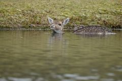 Fallow deer in water. Fallow deer swimming and standing in water on a cold winter day Stock Image