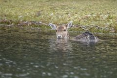 Fallow deer in water. Fallow deer swimming and standing in water on a cold winter day Royalty Free Stock Image