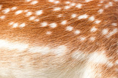 Fallow deer texture Royalty Free Stock Image