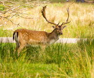 Fallow deer. 14th September 2015, Cheshire, UK. Male fallow deer at Dunham Massey deer park, Dunham Massey, Altringham Cheshire, UK royalty free stock images