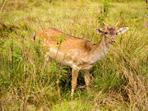 Fallow deer. 14th September 2015, Cheshire, UK. Male fallow deer at Dunham Massey deer park, Dunham Massey, Altringham Cheshire, UK Stock Photography