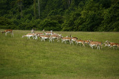 Fallow deer together running uphill. Fallow deer herd moving uphill in a green field with woodland behind Stock Photos
