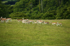 Fallow deer together running uphill. Fallow deer herd moving uphill in a green field with woodland behind Royalty Free Stock Photo