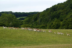 Fallow deer together running uphill. Fallow deer herd moving uphill in a green field with woodland behind Royalty Free Stock Photography