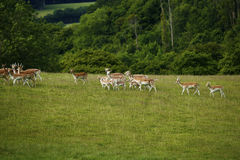 Fallow deer together running uphill. Fallow deer herd moving uphill in a green field with woodland behind Royalty Free Stock Images