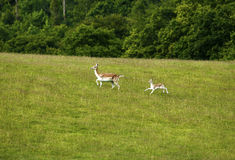 Fallow deer together running uphill. Fallow deer herd moving uphill in a green field with woodland behind Royalty Free Stock Image