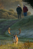 Fallow deer and two men stock photos