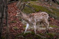 Fallow deer walking in autumn. Royalty Free Stock Images