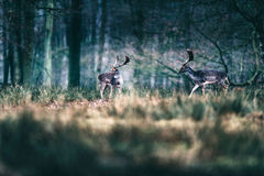 Fallow deer walking in tall grass in forest. Royalty Free Stock Photo