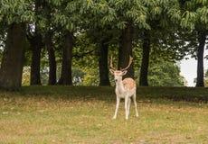 Fallow deer watching Royalty Free Stock Images