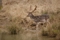 Fallow deer by water Royalty Free Stock Photo