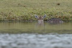 Fallow deer in water. Fallow deer swimming and standing in water on a cold winter day Stock Photos