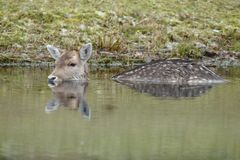Fallow deer in water. Fallow deer swimming and standing in water on a cold winter day Royalty Free Stock Photo