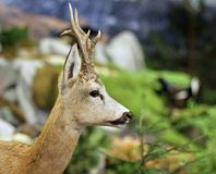Fallow deer wild animals of the forest. In the middle of the Woods stock photo