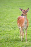 Fallow deer in the wild Stock Images