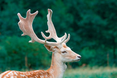 Fallow deer in the wilderness Stock Photo