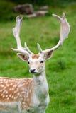 Fallow deer in the wilderness Stock Photos