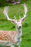 Fallow deer in the wilderness Stock Images