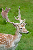 Fallow deer in the wilderness Royalty Free Stock Photos