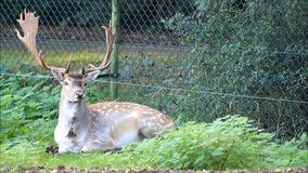 Fallow deer in a wildlife park stock video footage