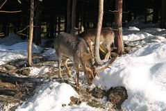 Fallow deer in winter. Fallow deer male and female in winter forest royalty free stock photo