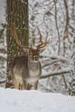 Fallow deer in winter. In the forest stock photos