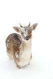Fallow deer in a winter field Royalty Free Stock Photo