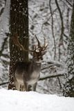 Fallow deer in winter. In the forest royalty free stock photo