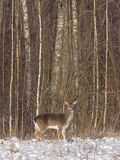Fallow deer in the winter forest Stock Images