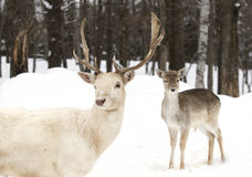 Fallow deer in winter looking at camera Royalty Free Stock Images