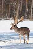 Fallow deer in winter Royalty Free Stock Images